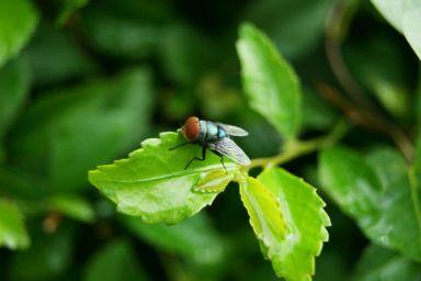 lalat_hijau_by_immanuelshn-d41k9rayhgt