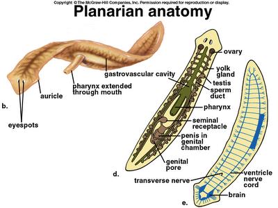 Platyhelminthes_Planaria_2