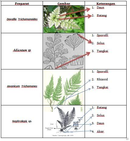 Laporan Praktikum Tumbuhan Paku | Nur Azizah